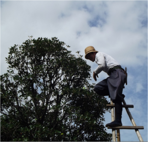 man on ladder trimming tree